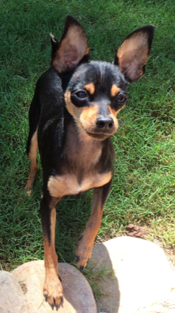 black and tan min pin