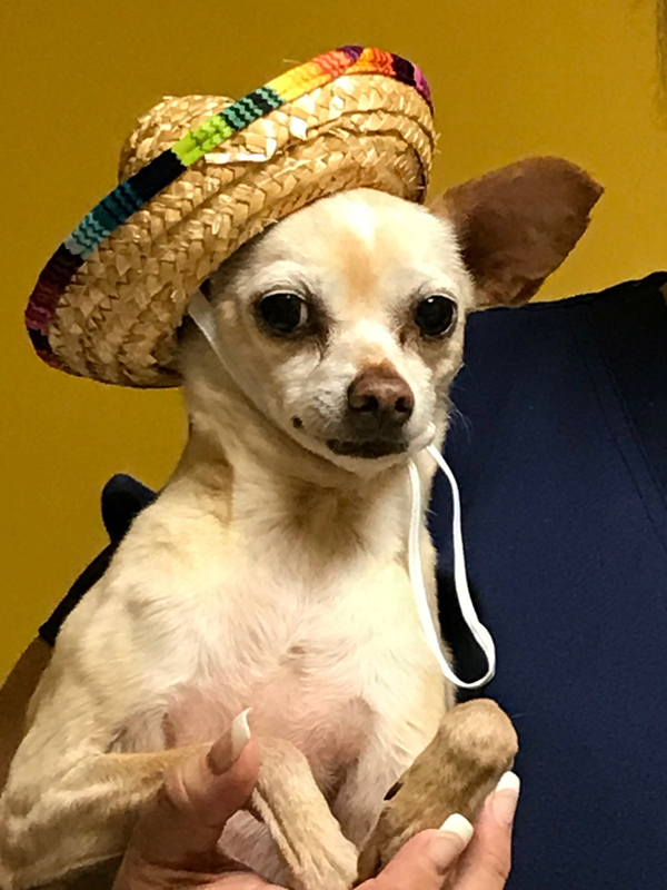 chihuahua with a hat