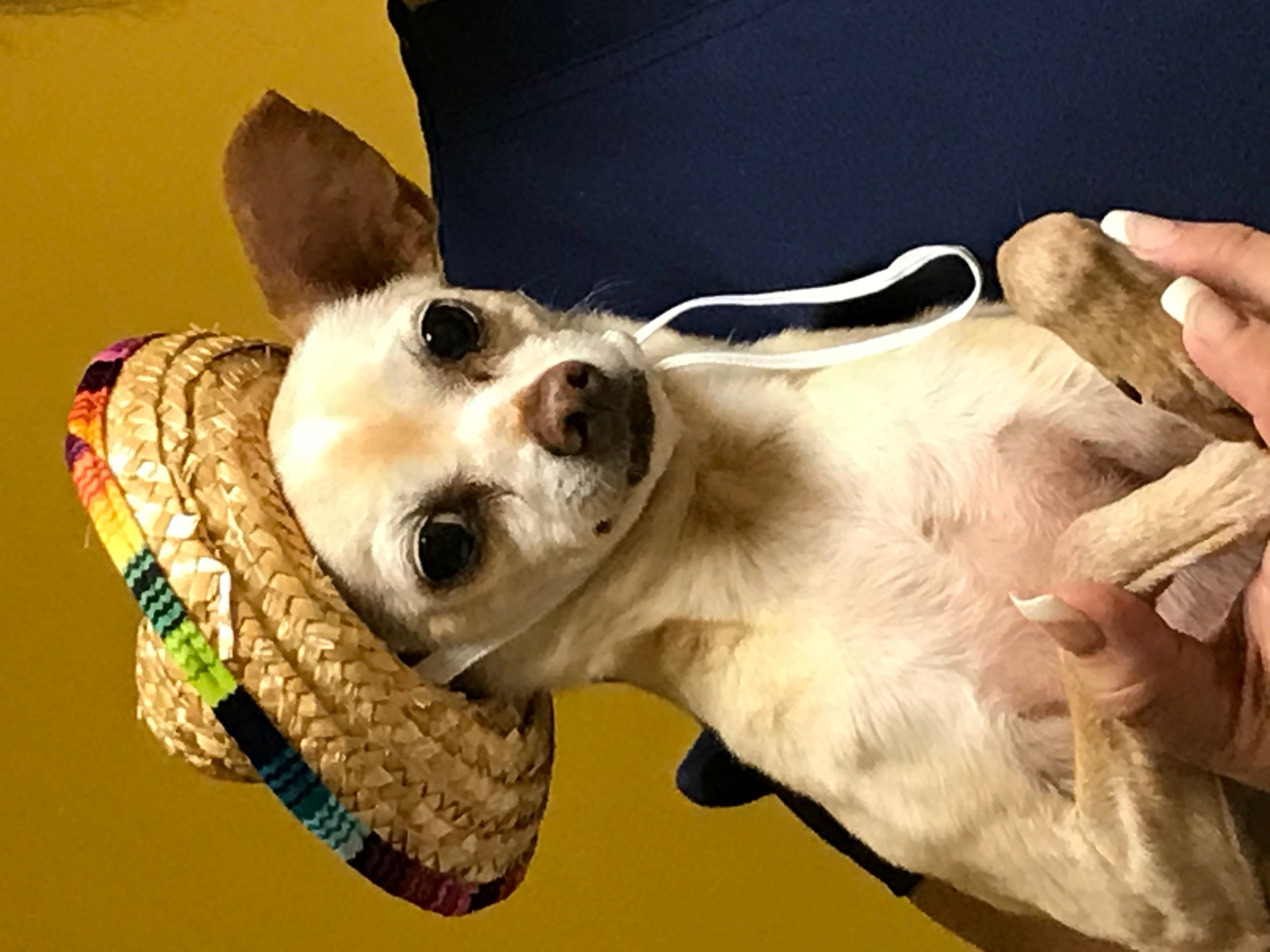 chihuahua wearing a little hat